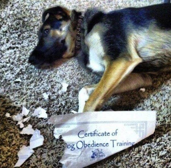Dog Fails Obedience School