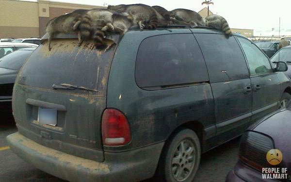 Raccoons On Mini Van