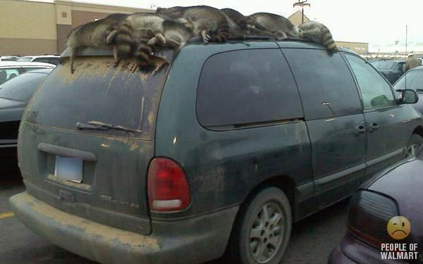 Raccoons On Mini Van