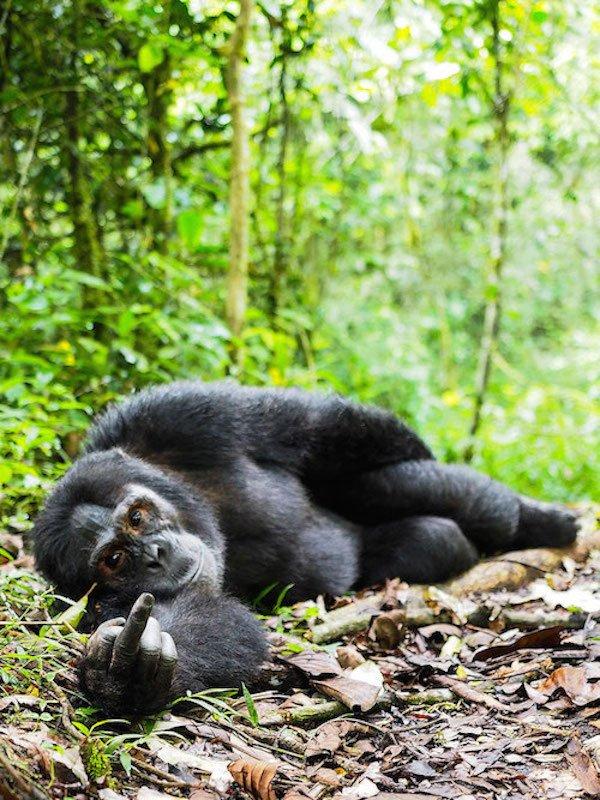 Sassy Gorilla