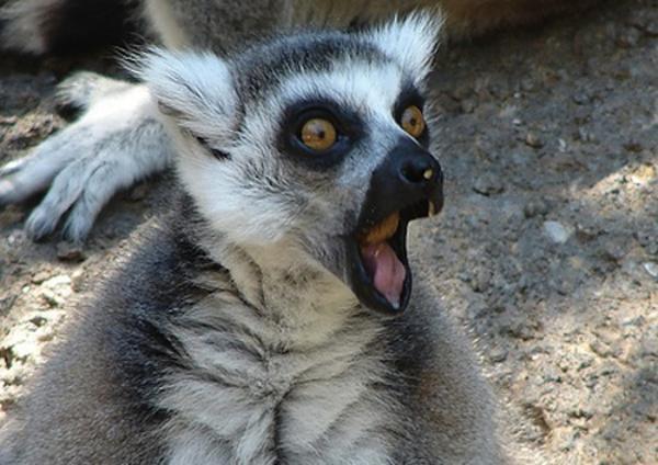 lemur-imitating-porn-star