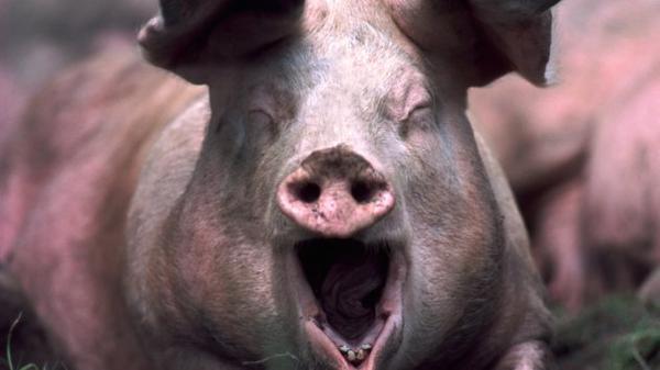 pig-imitating-porn-star