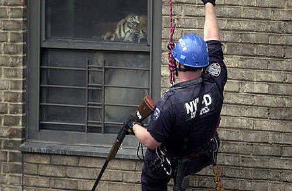 Rescuing A Drug Dealer's Tiger