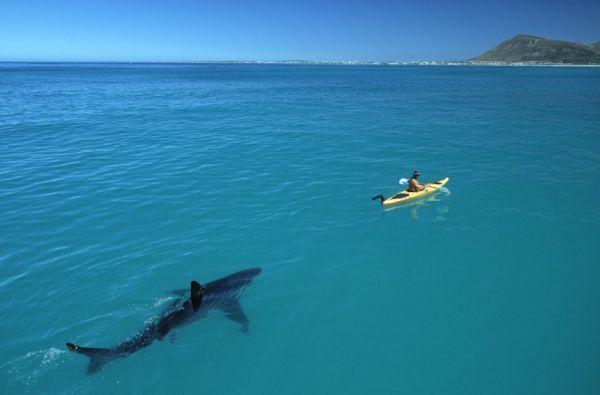 Great White Shark Following Kayak