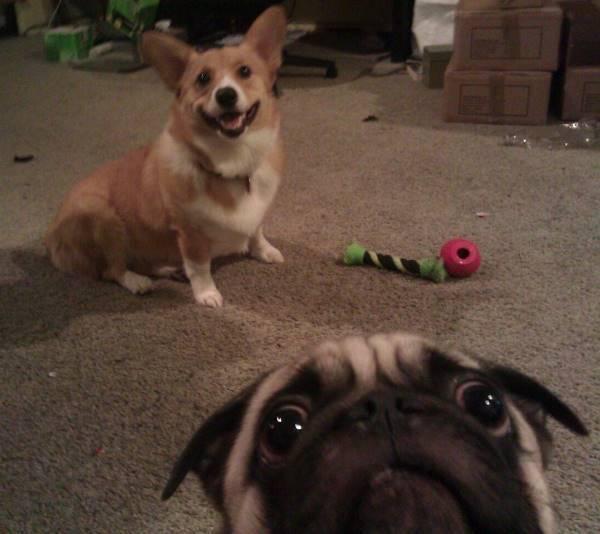 Pug Photo Bomb