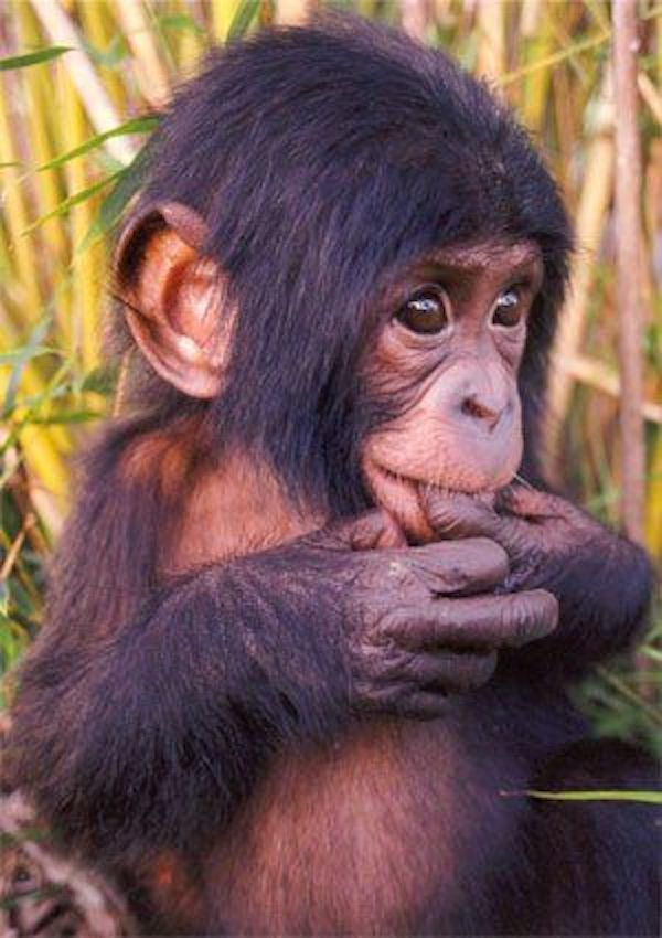 adorable animals baby chimpanzee