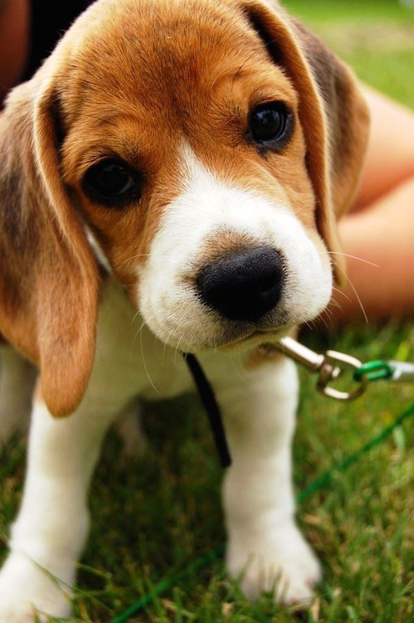 adorable-animals-curious-beagle-puppy