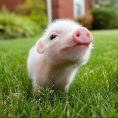 adorable animals miniature pig