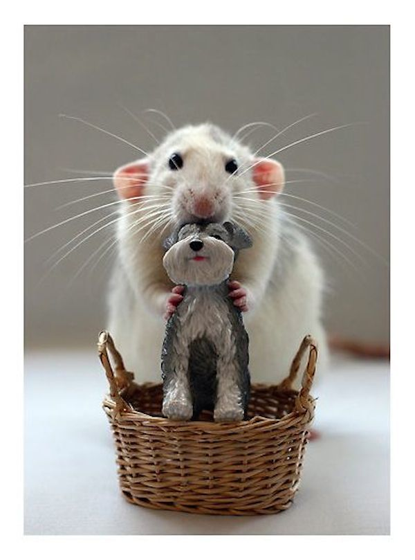 adorable animals rat