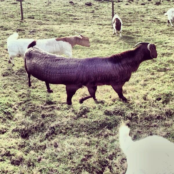 Long Goat