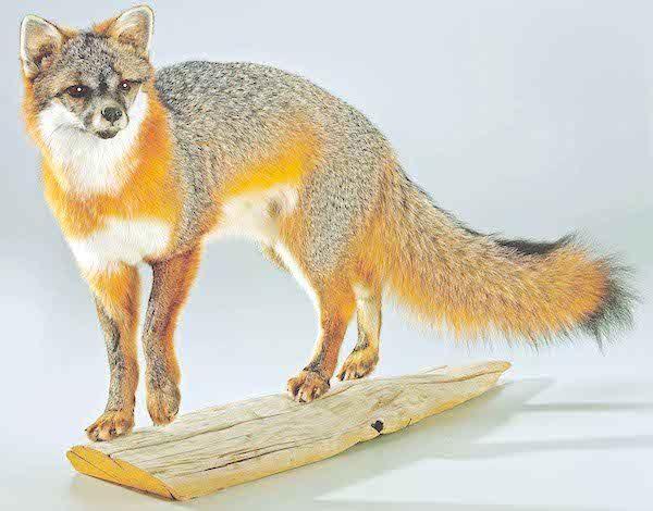 christmas-present-for-dad-taxidermy-fox