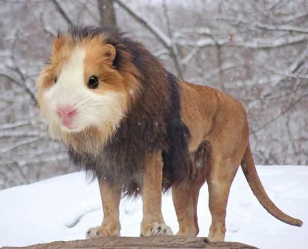 Hamster Lion