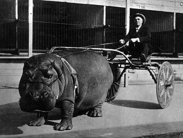 Hippo Cart