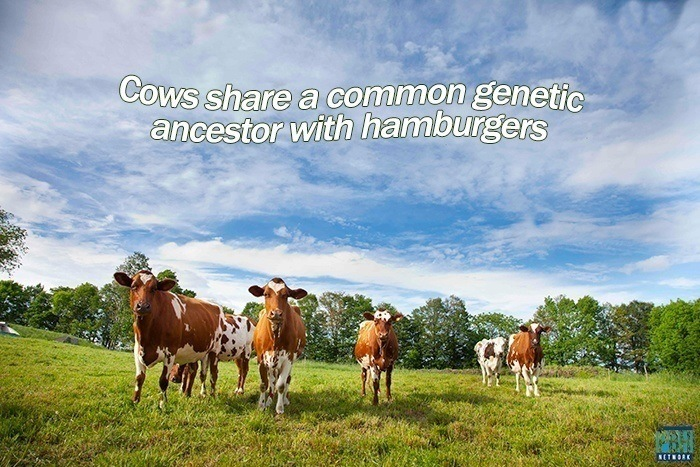 cows-share-a-common-genetic-ancestor-with-hamburgers