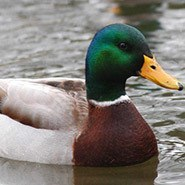Ducks are so weird if you really think about them.