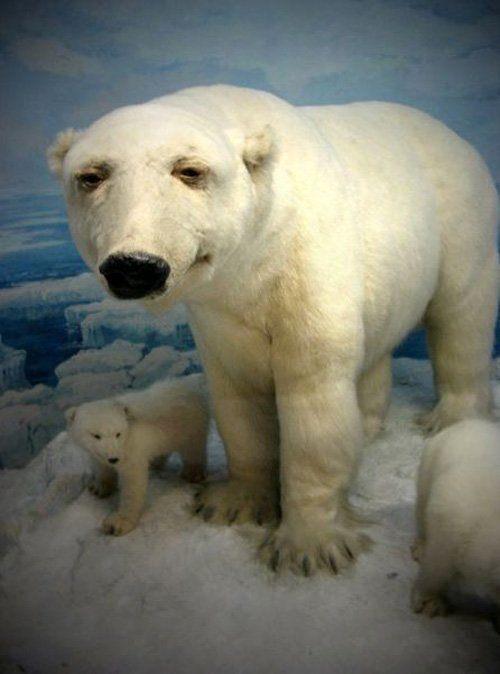Chill Polar Bear