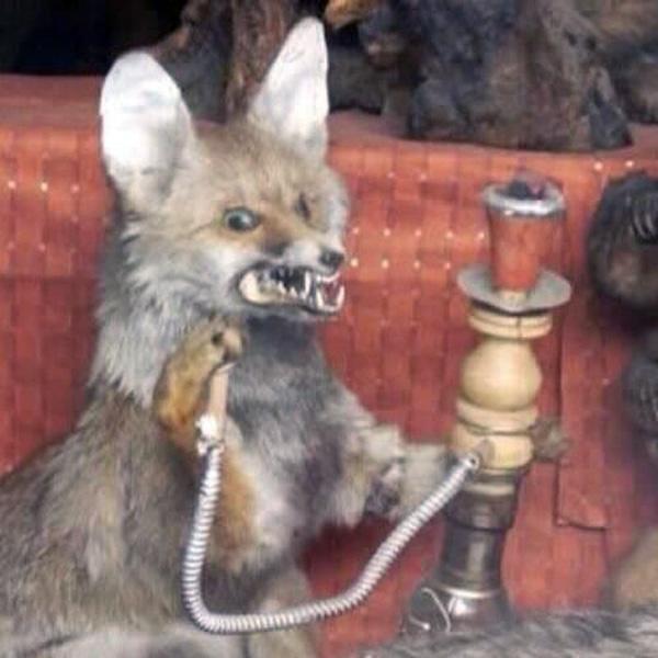 Hookah Fox