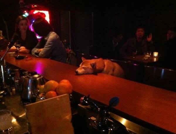 Shiba At The Bar