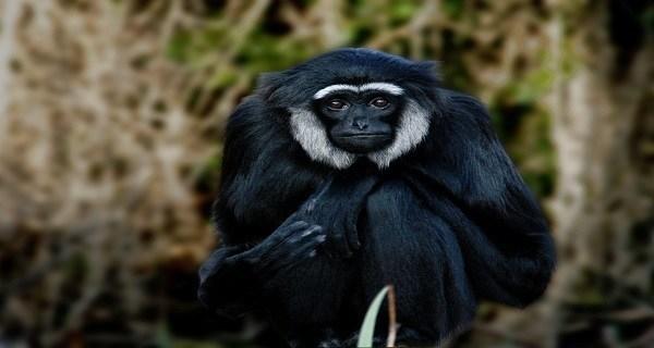 Kloss's Gibbon