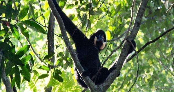 Northern Buff Cheeked Gibbon