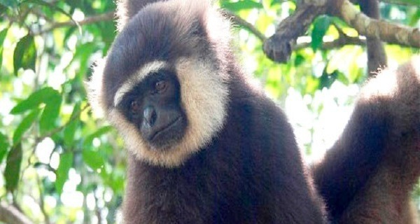 White Bearded Gibbon