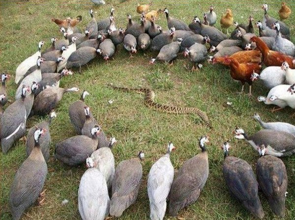 Birds Surround Snake