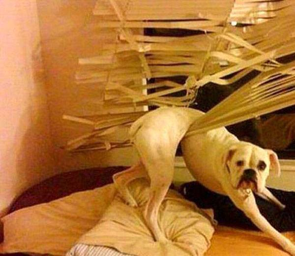 Dog In Blinds