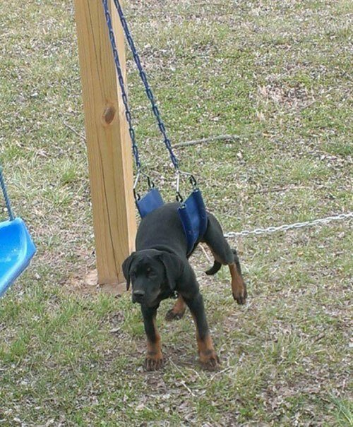 Dog Swing Animal Regrets