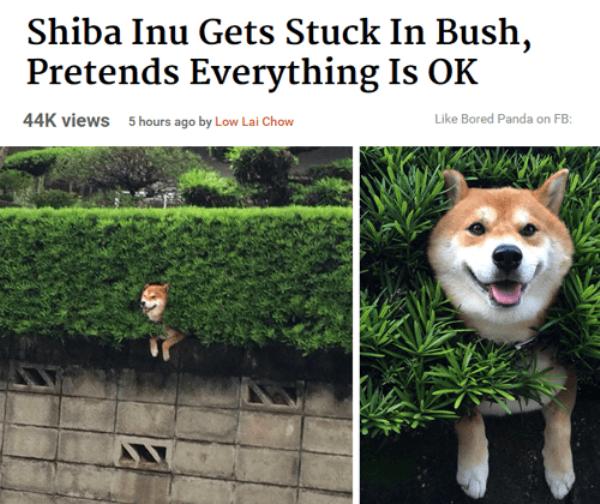 Stuck Shiba