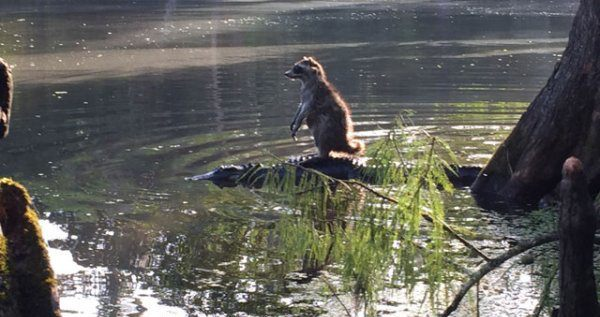 Raccoon On A Croc