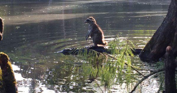 Raccoon On A Croc
