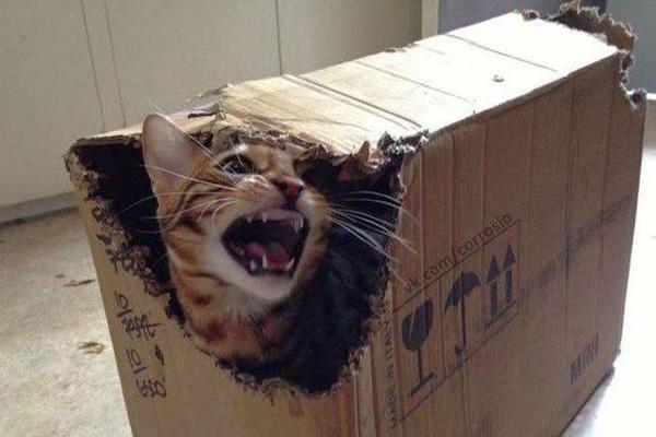 Box Cat Hates You