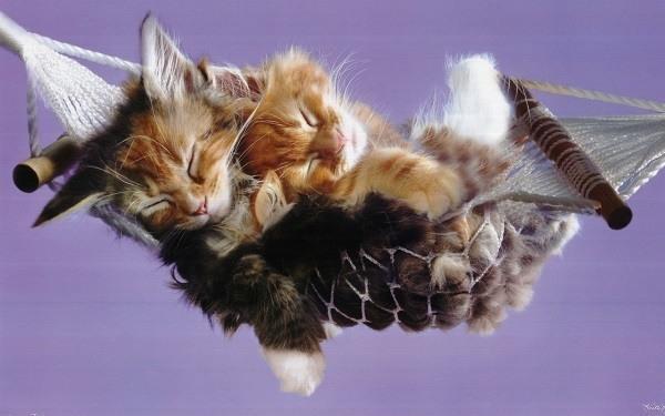 Kitten Hamock