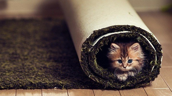 Kitten Rolled Up