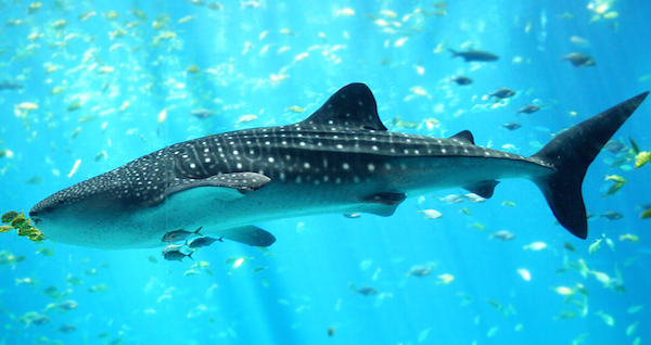 Whale Shark Shark Attacks
