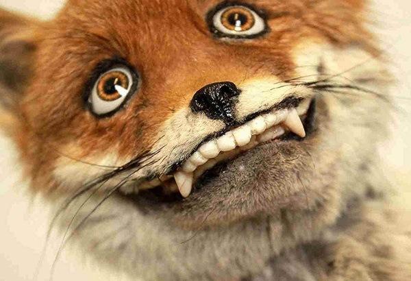 Doofus Fox