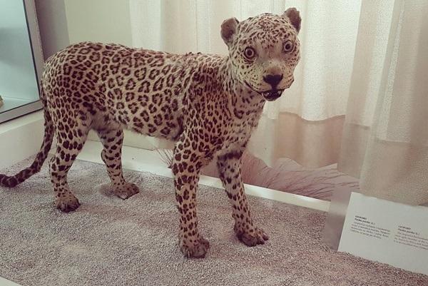 Low Iq Leopard