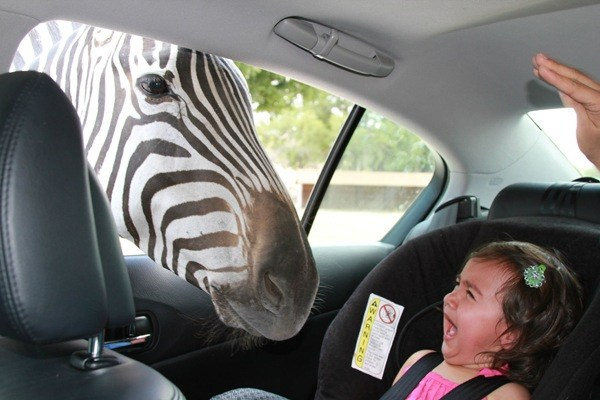Scared Kid Zebra