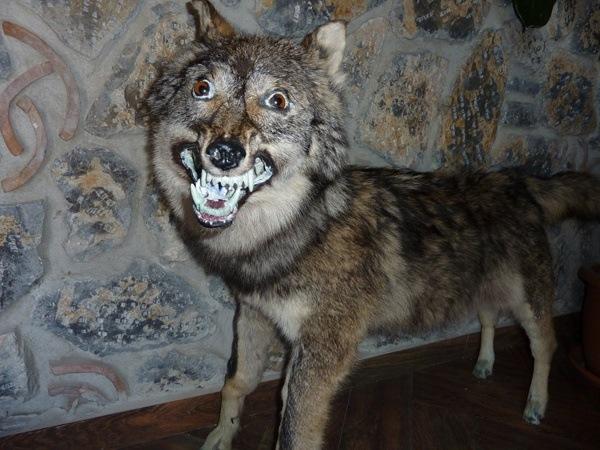Surprised Wolf