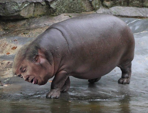 Weird Celebrity Mashups Trumpopotamus