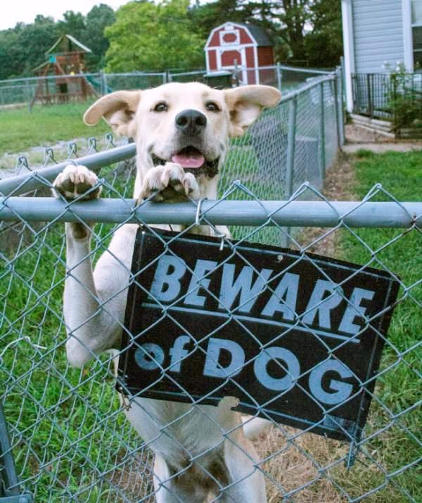 Friendly Dog Behind Beware Of Dog Sign