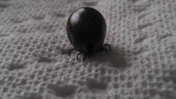 Giant Tick