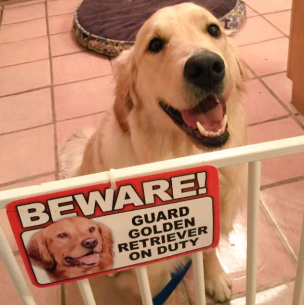 Golden Retriever On Duty