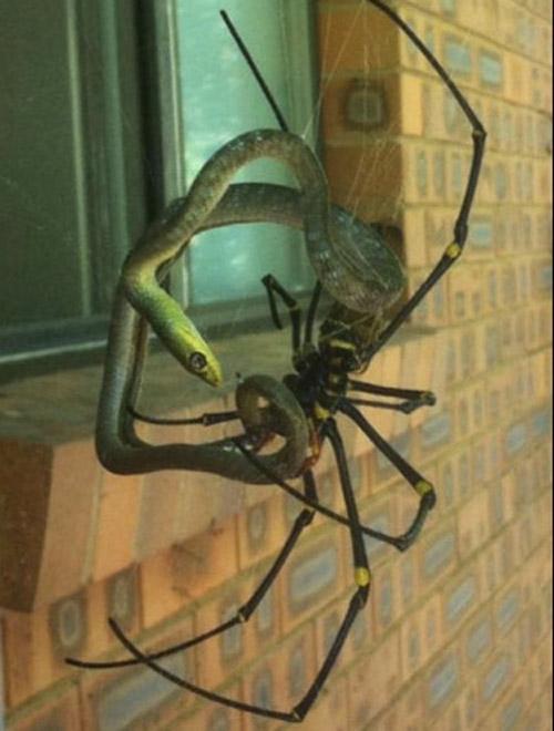 Spider Snake