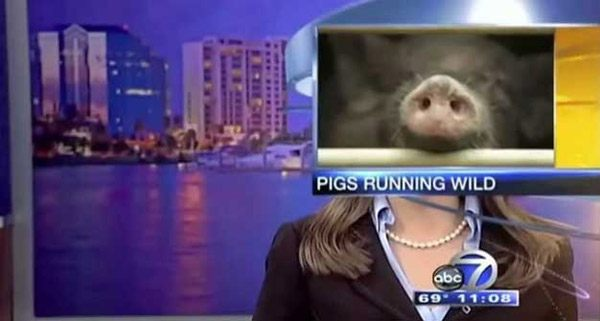 Pigs  Local News Blooper