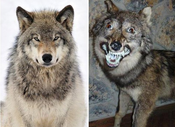 Wolf Tagged V Profile