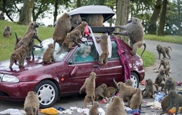 Baboon Car