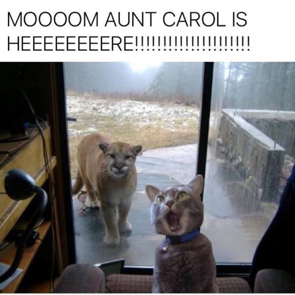 Cougar Cat Memes
