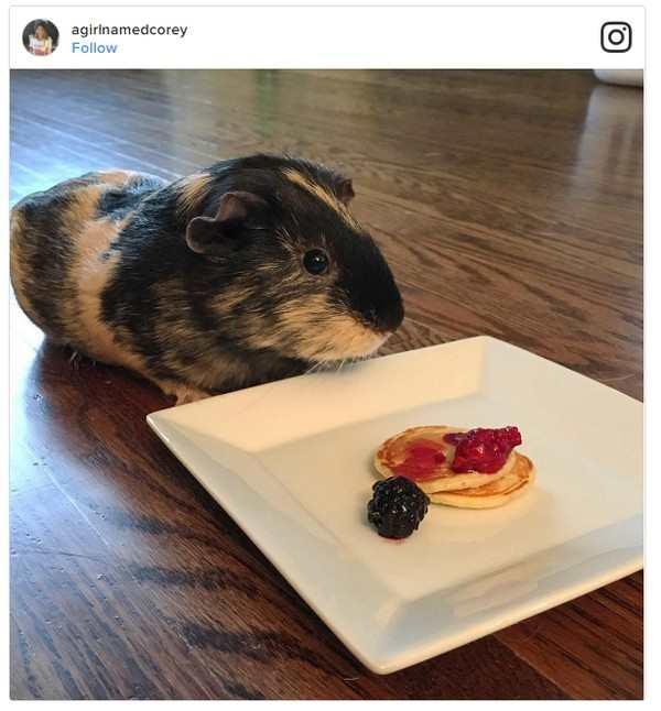 Guinea Pig Pancakes